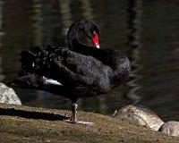 The black swan, Cygnus atratus. In morning sun in Sweden stock images
