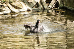 Black swan (Cygnus atratus) shakes with her wings in the park la Stock Image