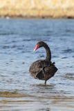 Black Swan (Cygnus atratus) Stock Photography