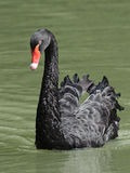 Black Swan (Cygnus atratus) Stock Image