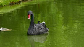 Black swan Cygnus atratus swimming Stock Image