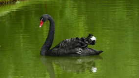 Black swan Cygnus atratus swimming Royalty Free Stock Image