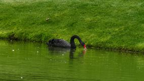 Black swan Cygnus atratus swimming stock video footage