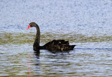 Black Swan (Cygnus atratus) Stock Photo