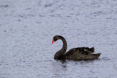 Black Swan (Cygnus atratus) Stock Images