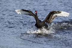 Black Swan (Cygnus atratus) Royalty Free Stock Photo