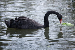 Black swan (Cygnus atratus). Stock Photos