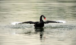 Black Swan Dance Royalty Free Stock Images