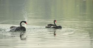Black Swan Dance Stock Photography