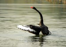 Black Swan Dance Royalty Free Stock Photography