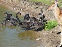 Black swan and deer. Black swan and roe deer to the water Royalty Free Stock Photo