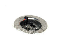 Black Swan Down The Plughole. A black swan being washed down the plughole to represent financial risk and failure Stock Images
