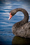 Black Swan drinking water Stock Images