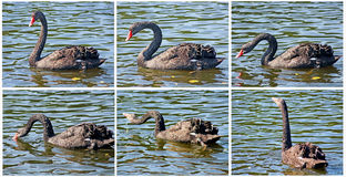 Black swan is drinking water Royalty Free Stock Images