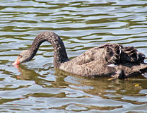 Black swan is drinking water royalty free stock photo