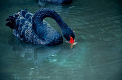 Black Swan drinking water in the river. One black swan on the river drinking blue water Stock Images