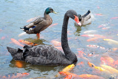 Black swan and duck. Black swan ,duck ,colorful fish in the water stock photography