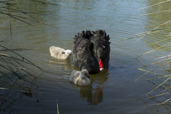 Black swan with ducklings. In pond Royalty Free Stock Photo