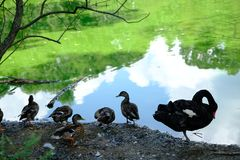 Black swan ducks in a pond. Black swan ducks in a green pond stock photography