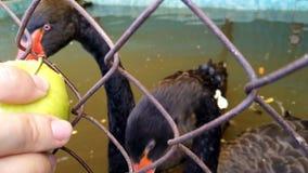 Black swan eating apple stock video
