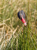Black swan is eating grass royalty free stock photos