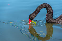 Black swan eating green weed. Black swan on a blue lake feeding on greed waterplant Stock Photography