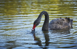 Black swan eating plastic waste Stock Images