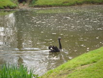 Black swan Stock Photos