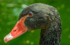 Black swan face  portrait(Cygnus atratus) Royalty Free Stock Photo