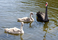 Black Swan family Royalty Free Stock Photos