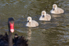 Black swan family Royalty Free Stock Photography