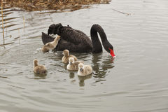 A black swan family Stock Photography