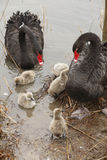 A black swan family Stock Photo