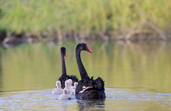Black swan family Royalty Free Stock Image