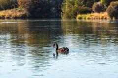 Black swan feeding on green plant. On pond. Selective focus, shallow DOF Stock Photography