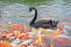 Black swan  and fish Stock Photography