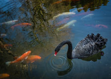 Black swan and fishes Royalty Free Stock Images