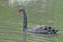 Black Swan. Floating on a lake stock photography