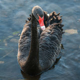 Black swan floating on lake Stock Photography