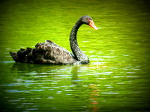 Black Swan. A black swan floating in a pond Royalty Free Stock Image