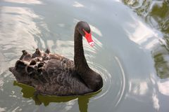 Black Swan Stock Photo