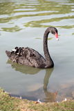 Black swan floating in the water Stock Photography