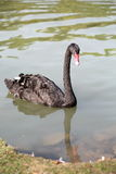 Black swan floating in the water Royalty Free Stock Images