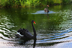 Black swan Royalty Free Stock Photography