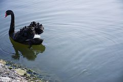 The black swan floats on water. Wild bird Free Bird. Space for text stock photography