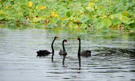 Black Swan, food Stock Photography