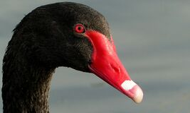 Black Swan.FZ200 Royalty Free Stock Photography