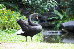 Black swan in garden Stock Image