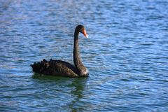 Black swan (genus cygnus) Stock Photos
