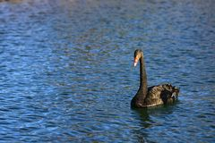 Black swan (genus cygnus) Stock Photo